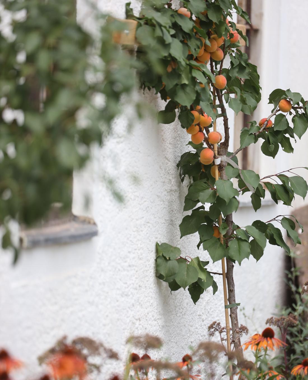 Aprikosenspalier im Bauerngarten