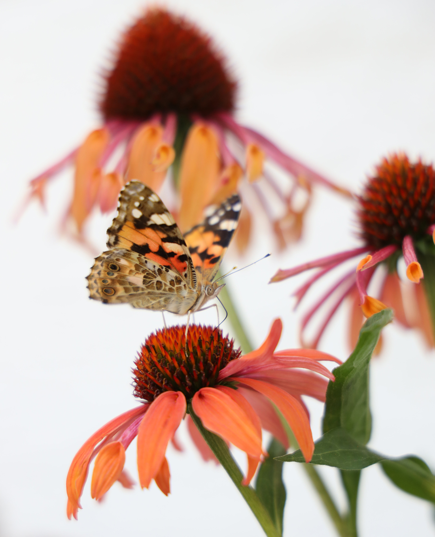 Natur- und Bauerngarten | Tipps und Tricks | Schmetterling auf Sonnenhut