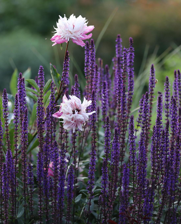 Bepflanzung | Gartengestaltung | Lieblingsblumen Salbei
